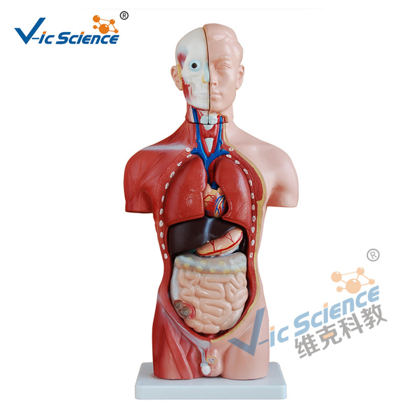 42cm Male Torso Model 13 Parts Medical Teaching Model
