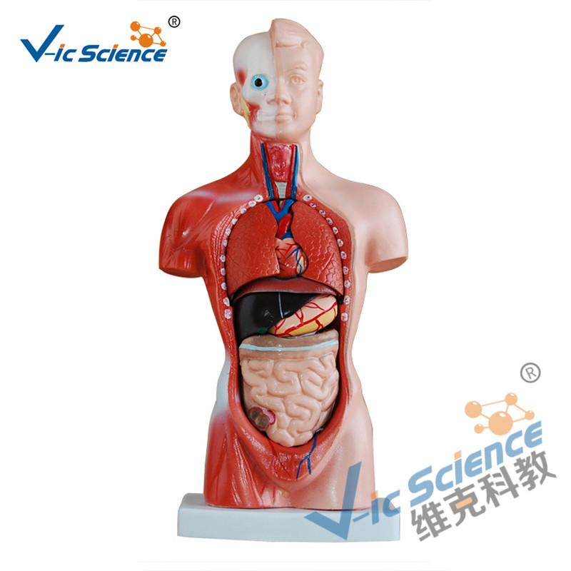 26CM Torso Model 15 Parts Anatomy Body Model